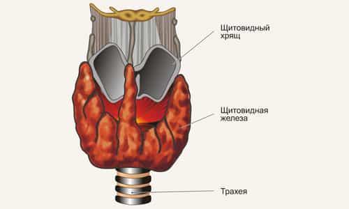 Гормоны щитовидной железы оказывают влияние на все ткани человеческого организма, регулируя скорость синтеза молекул или полностью блокируя биохимические процессы