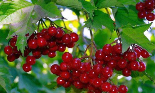 Против гемангиомы помогут и ягоды калины, которые необходимо мелко истолочь